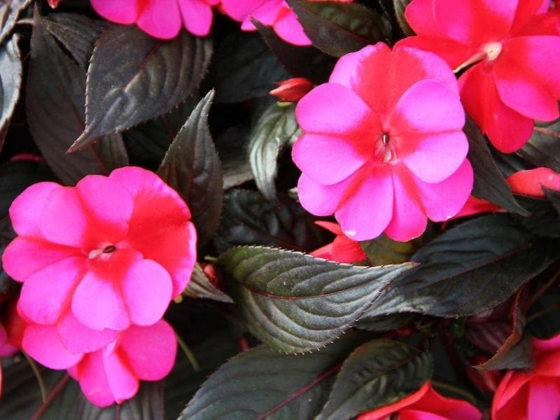 New Guinea Impatiens Rainflower Essence
