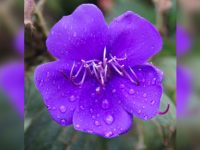Tibouchina Flower Essence