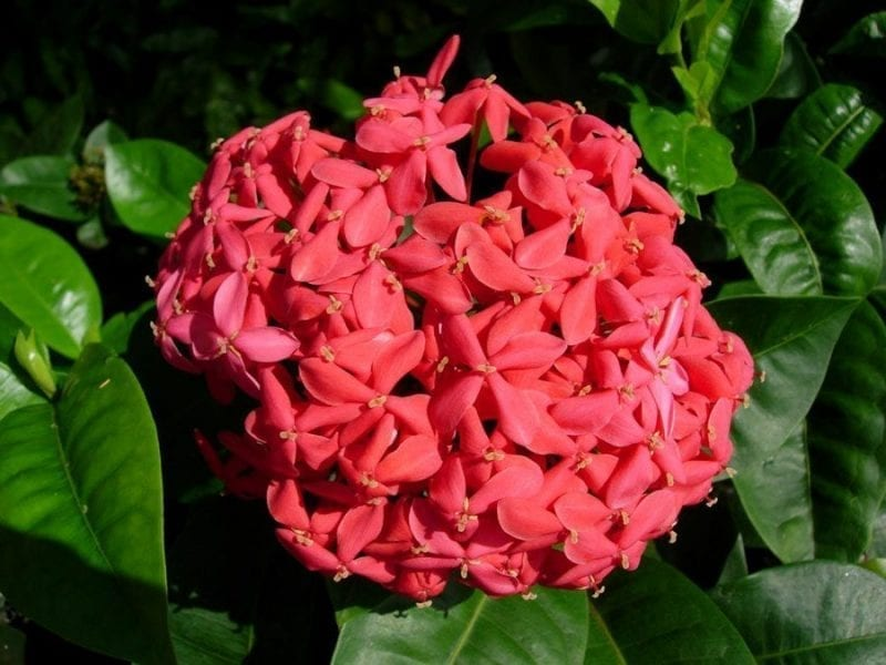 Maui Ixora Rainflower Essence