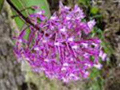 Peruvian Intuition Orchid Essence