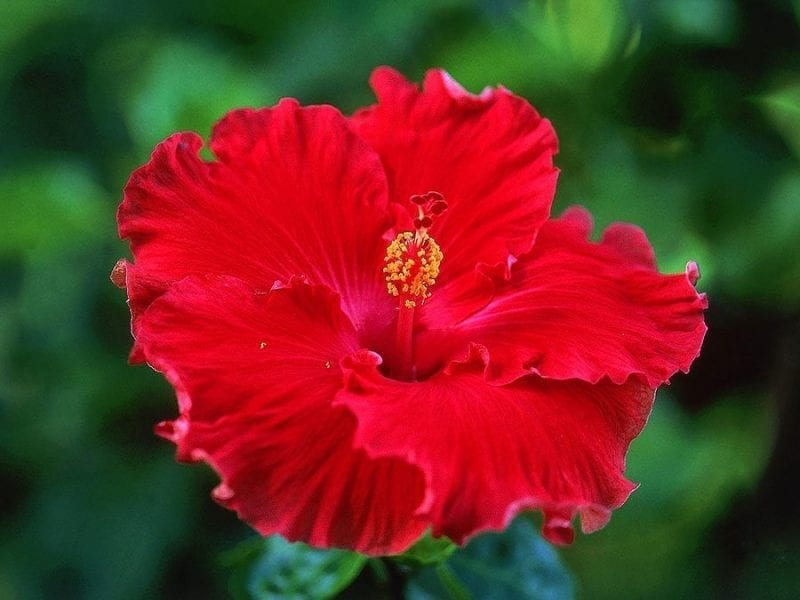 Red Hibiscus Rainflower Essence
