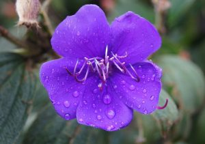 Tibouchina-Flower Essence