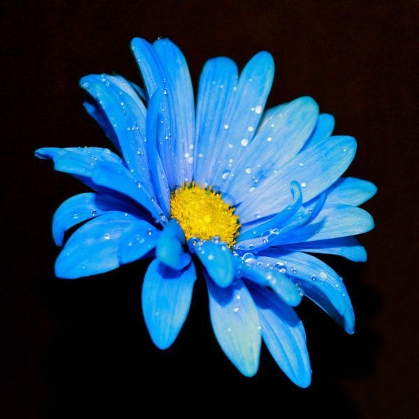 Blue Daisy Rainflower Essence