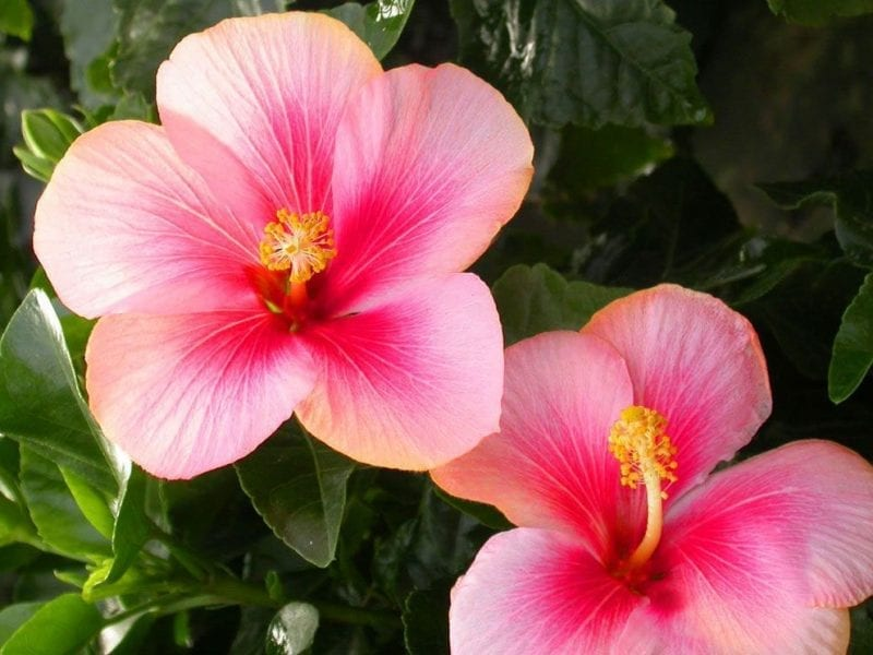 Pink Hibiscus Rainflower Essence