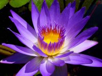 Water Lily Flower Essence