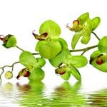 Peruvian-Amazon-Creativity-Orchid-Flower-Essence